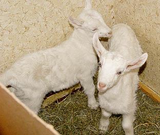 Тёплое помещение, свежая подстилка, хороший корм - вот что требуется козлятам. лучок.tif